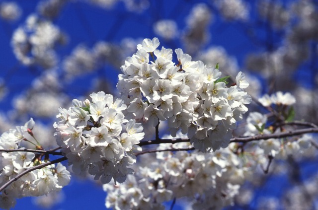 Cherry_tree_blossoms